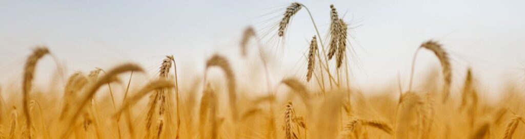This image has an empty alt attribute; its file name is wheat-1-1024x272.jpg